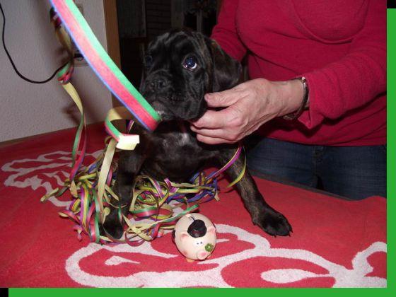 Daisy von Achtern Diek Wurftag: 30.10.2010 Zuchtbuchnummer: achtern-diek-h3