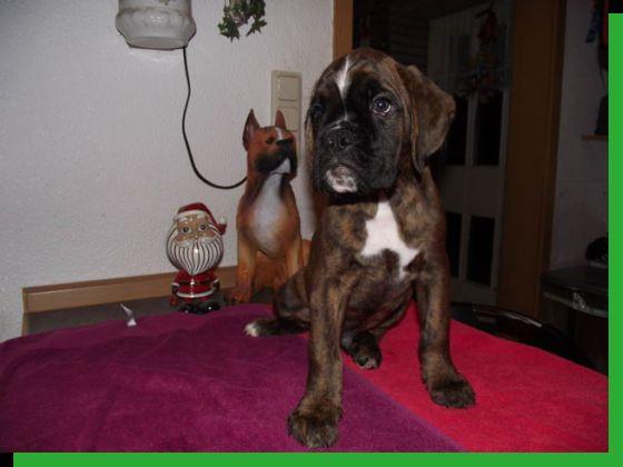 Diabolo von Achtern Diek Wurftag: 30.10.2010 Zuchtbuchnummer: achtern-diek-r3